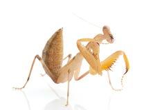 Praying Mantis. Isolated on white background Royalty Free Stock Photography