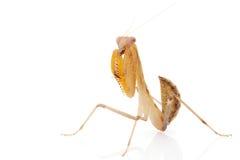Praying Mantis. Isolated on white background Royalty Free Stock Image