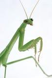 Praying Mantis Stock Image