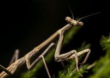 Praying Mantis (Juvenile) Stock Photo