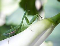 Praying mantis on Kalia Flower Stock Image