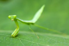 Praying mantis larva Stock Images