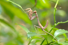 praying mantis larva Stock Photos