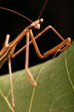 Praying mantis on a leaf. Macro closeup of a stick insect showing alien like eyes and antennae royalty free stock image