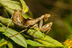 Praying mantis on leaf stock photography