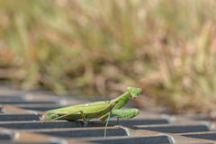 Praying mantis   looking at camera Stock Photo