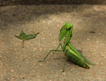 Praying Mantis. Looks at the camera Royalty Free Stock Image