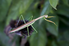 Praying Mantis Looks at You Royalty Free Stock Photo