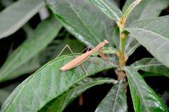 Praying Mantis on a Loquat plant. A Praying Mantis, Tenodera aridifolia sinensis, on a Loquat plant Stock Images
