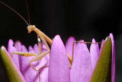 Praying mantis on a lotus. Royalty Free Stock Photography