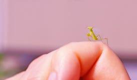 Praying mantis on macro Stock Images