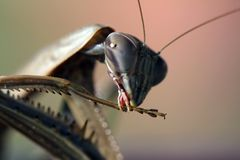 Praying Mantis Macro Mandible. Photo taken in October 2015. Macro Praying Mantis cleaning mandible Stock Photos