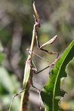 Praying mantis macro Stock Image