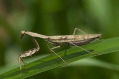 Praying mantis Madagascar. Praying mantis. Madagascar Stock Images
