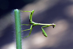 Praying mantis. Or mantid insect of the family Mantidae ordem Mantodea Royalty Free Stock Images