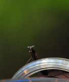 Praying Mantis Mantis Regligiosa Resting On LED Lighting Close Up royalty free stock photos