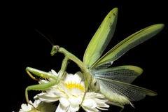 Praying mantis / Mantis religiosa. A praying mantis on a white flower Royalty Free Stock Photo