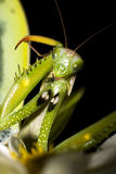 Praying mantis / Mantis religiosa Royalty Free Stock Photography