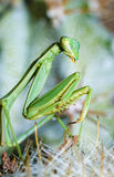 Praying mantis, Mantis religiosa Royalty Free Stock Photos