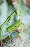 Praying mantis, Mantis religiosa. On a cactus in Tucson, Arizona Royalty Free Stock Photos
