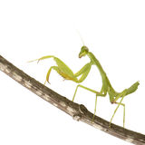 Praying mantis - Mantis religiosa Stock Photos