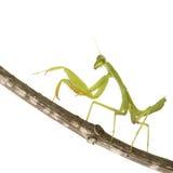 Praying mantis - Mantis religiosa. In front of a white background Stock Photos