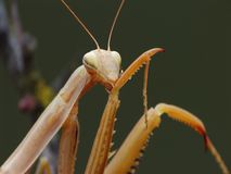 Praying mantis (Mantis religiosa) cleaning itself Royalty Free Stock Photography