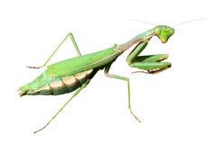 Praying Mantis (Mantis religiosa). Female European Mantis or Praying Mantis (Mantis religiosa) isolated on white background Royalty Free Stock Image