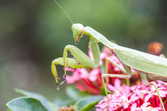 Praying mantis (Mantis religiosa) Stock Images