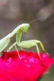 Praying mantis (Mantis religiosa) Royalty Free Stock Images