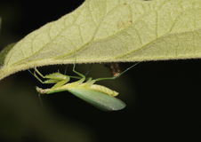 Praying mantis, Mantis Religiosa. Green praying mantis, Mantis Religiosa, with its new wings after molting, with a bit of the molt showing in the background Stock Photography