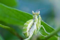 Praying mantis (Mantis religiosa) on green leaf Stock Photos