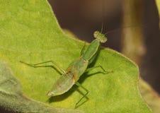 Praying mantis, Mantis Religiosa, with hardened shell, ready to molt. Royalty Free Stock Photo