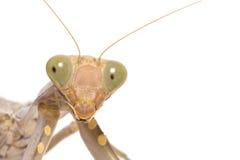 Praying mantis, mantis religiosa. Royalty Free Stock Photography