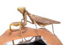 Praying mantis, mantis religiosa. Stock Photos