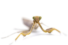 Praying mantis, mantis religiosa. Royalty Free Stock Image