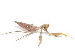 Praying mantis, mantis religiosa. Royalty Free Stock Photos