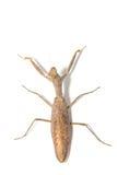 Praying mantis, mantis religiosa. Stock Photography