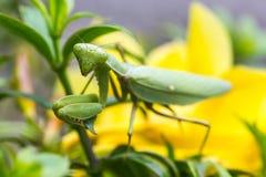 Praying mantis (Mantis religiosa) Royalty Free Stock Photography