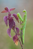 Praying Mantis (Mantis religiosa) on plant in nature Stock Images