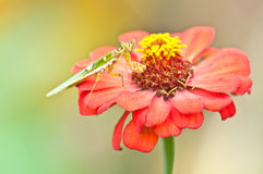 A Praying Mantis ( Mantis religiosa) on Red Zinnia Royalty Free Stock Image