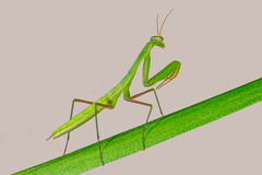 Praying Mantis - Mantis religiosa Stock Photo