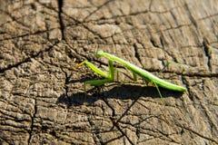 Praying mantis Mantis religiosa Stock Photo