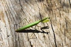 Praying mantis Mantis religiosa Stock Image