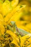 Praying mantis (Mantis religiosa) Royalty Free Stock Image