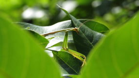 Praying mantis. Mantises peering out from behind the leaves Stock Photos