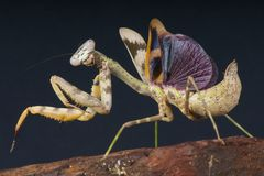 Praying mantis. Es are specialized predatory insects Stock Photo
