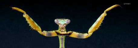 Praying mantis. Es are specialized predatory insects Stock Photos