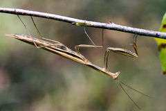 Praying mantis mantodea on a  brown branch Stock Photos