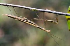 Praying mantis mantodea on a  brown branch Stock Photos